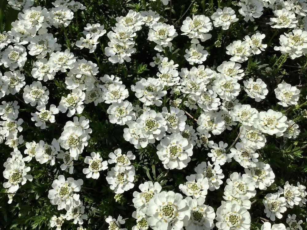 この白い花の名前を教えて下さい。