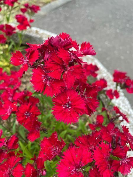 こちらのお花の名前を教えてください。多分枯れかかっています。