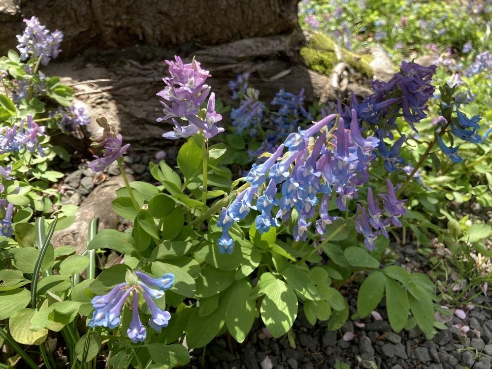 この植物の名前 お詳しい方いらっしゃったら教えてください。 北海道です。