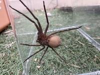 家の外に大きなクモが現れました。 かなり大きくて気持ち悪いです。 調べた所、ハイイロゴケグモという有毒の外来種のクモに似ていて不安です。 どなたか添付画像のクモの種類をお教えいただけないでしょうか。