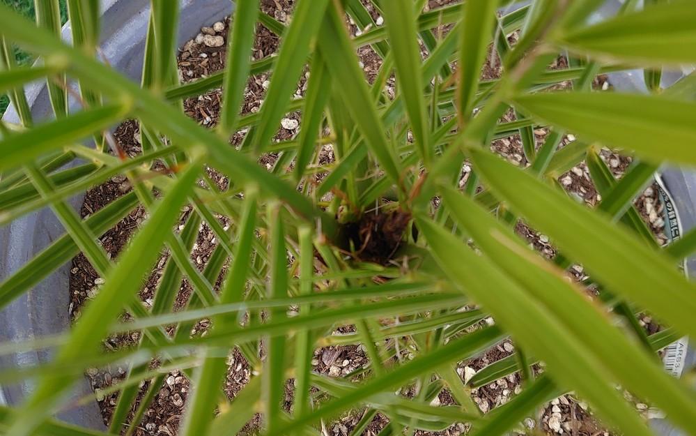 鉢植えで、知人からカナリーヤシの苗を貰い順調に育ってましたが… 覗いてみたら、成長点(真ん中)が腐れて無くなってました… コレは、害虫なんでしょうか? 根腐れでおきているのでしょうか? このま...