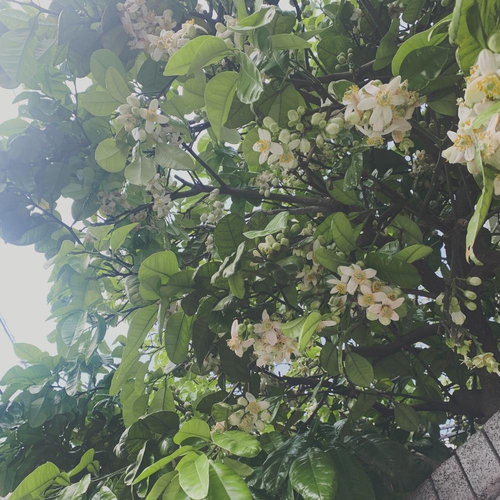 こちらのお花、ずっと調べているのですが、なかなか見つけれません。なんというお花かご存知の方いらっしゃいますか?