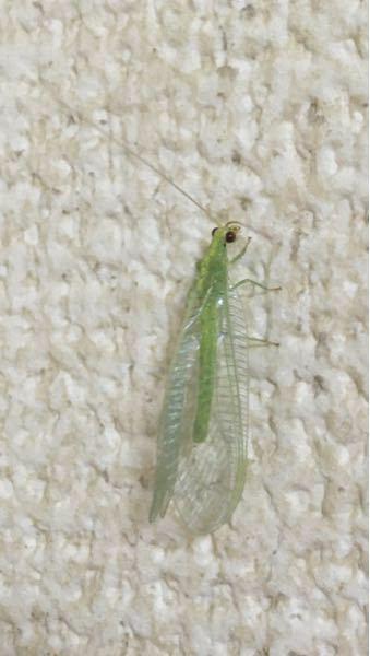 虫に詳しい方に質問です。2日くらい前に自宅に入ってきていました。何という名前の虫でしょうか? 回答をお待ちしておりますm(_ _)m