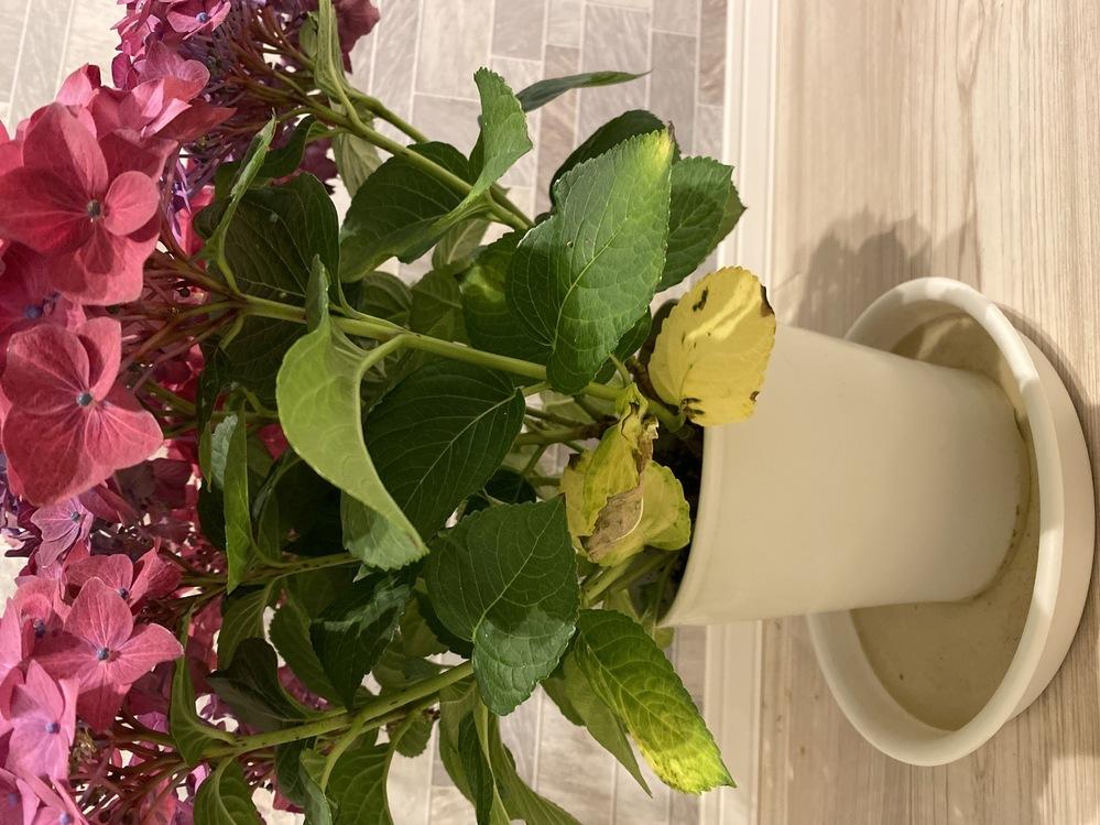 4月28日の誕生日プレゼントにいただいた紫陽花の事で質問です。3枚ほど葉っぱが白っぽく、何か病気でしょうか?分かる方教えて頂きたいです。