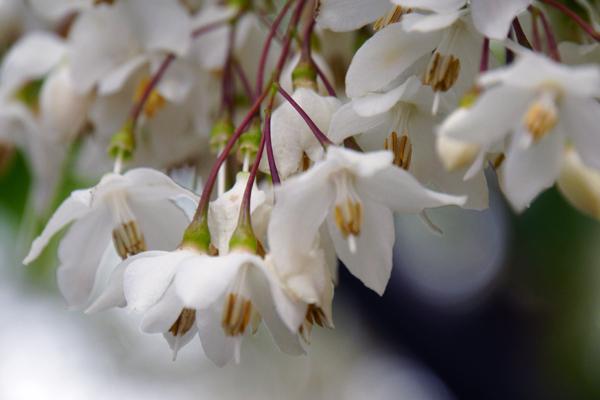 この花は何でしょう? 関西地方、高さ4メートル程度の街路樹です。5月7日に撮影しました。