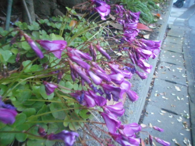 """今朝、近所で見かけました。 花の付き方がどことなく紫蘭に似ています。 昨晩の雨に濡れてしまって""""くた~ん""""となっている状態でとても分かりづらくて申し訳ありません。 名前をお分かりの方、教えて下さい。"""