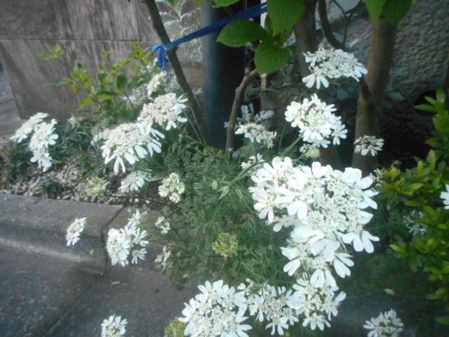 近所で地を這うとまでではありませんが、かなり低い場所で咲いていました。 やはり名前がわかりませんので、お分かりの方教えて下さい。