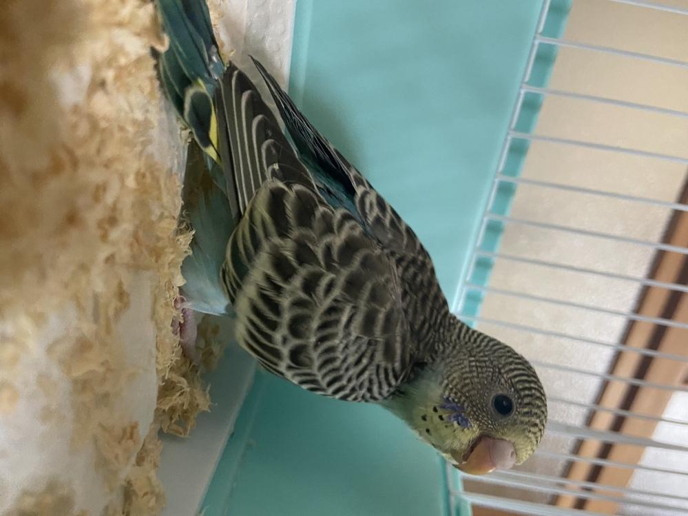 はじめまして! 新しい子をお迎えしました⭐ 初めて出会った羽色の子です。 一目惚れだったのですがネットで探しても同じ羽色の子が見つかりません レインボーかな?とはペットショップの方に言われましたが、セキセイインコに詳しい方がいたら教えてください