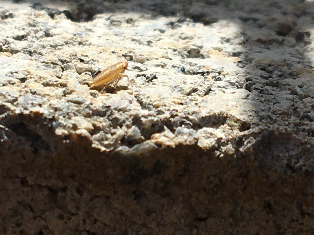 芝生に大量にいるこの虫はなんでしょうか? 近付くと跳ねています。 調べたけど似た虫が出てきません。 ヨコバイとも違う気もします。