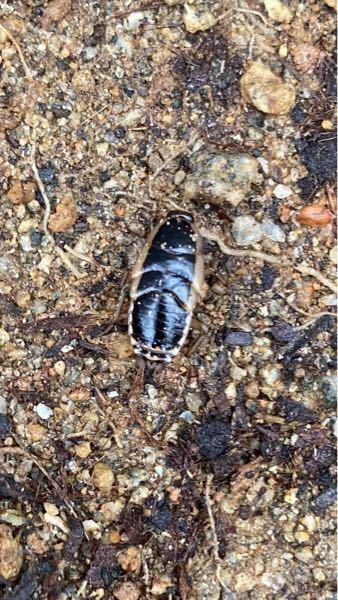 これってなんて虫ですか? 庭の土がある付近にいた1〜2センチくらいのやつです。