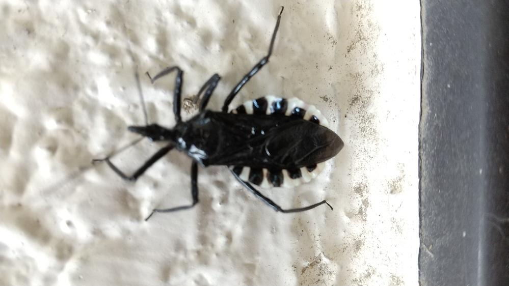 昆虫の名前を教えてください。 場所:埼玉県熊谷市で発見しました。 日時:2021年5月8日 家の壁にいました。 以上、宜しくお願いします。