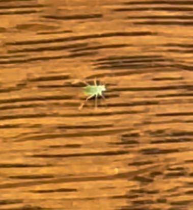 ダイニングテーブルの上を普通に歩いてたんですけど、この虫はなんという虫でしょうか?