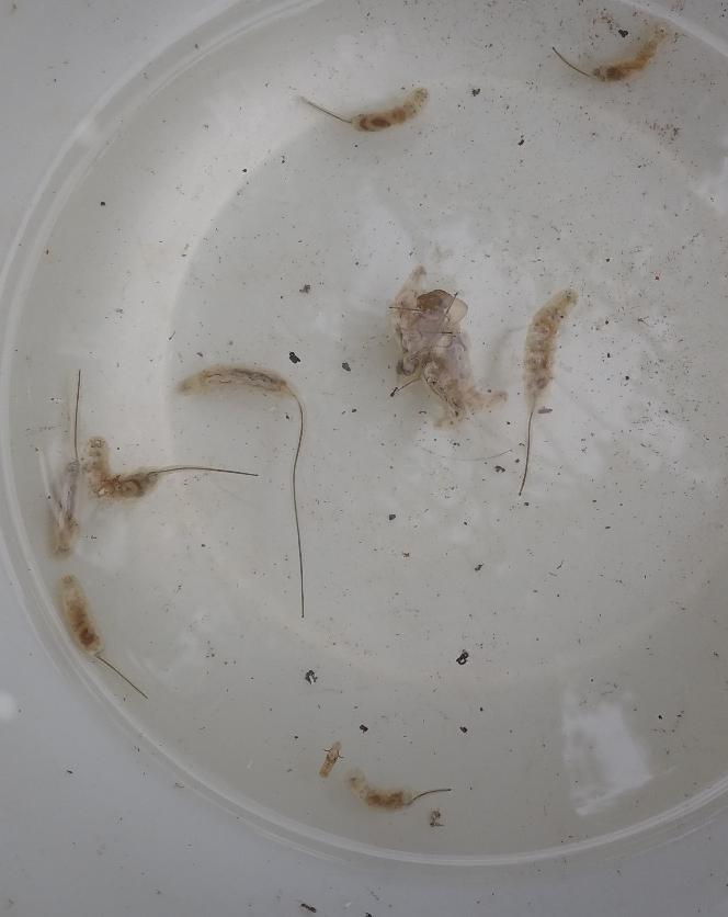 閲覧注意です!!!!! 水の中にいたのですがこれはなんという虫でしょうか?? ナメクジみたいな感じでしっぽのほうが長くなってます……