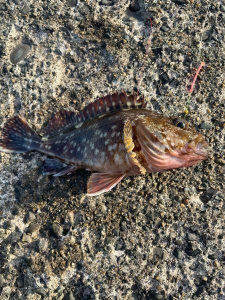 これってカサゴですか? カサゴだとしたら食べるのに毒とか大丈夫ですか? それともカサゴに似た別の魚だったりしますか? その場合でも食べれるのか知りたいです。 食べれたとしたら皆さんのおすすめの調理方法を知りたいです!