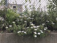 花の名前を教えて下さい。 5月8日撮影です。 菊のようなガーベラのような 白い花です。 ご存知の方、教えて下さい。