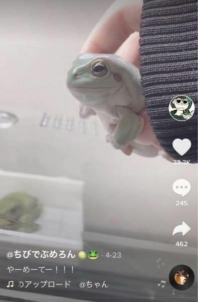 写真の ちびでぶめろん さんが飼っているカエルの名前と値段を教えて欲しいです。あと普通の爬虫類の店とかで売っていますか??