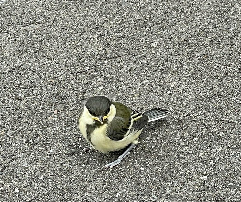 道端で見つけた鳥です。 名前を教えていただけませんか?