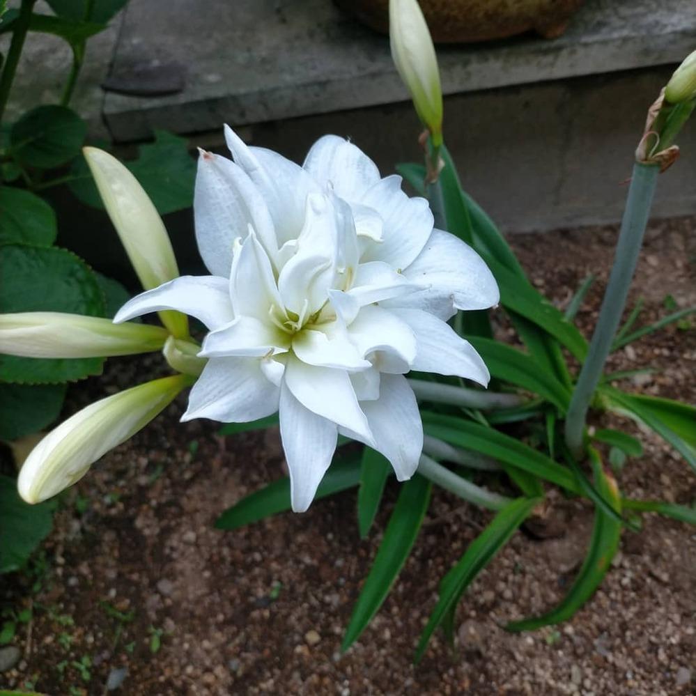 これは何という花でしょうか? 球根から育っているのですが…