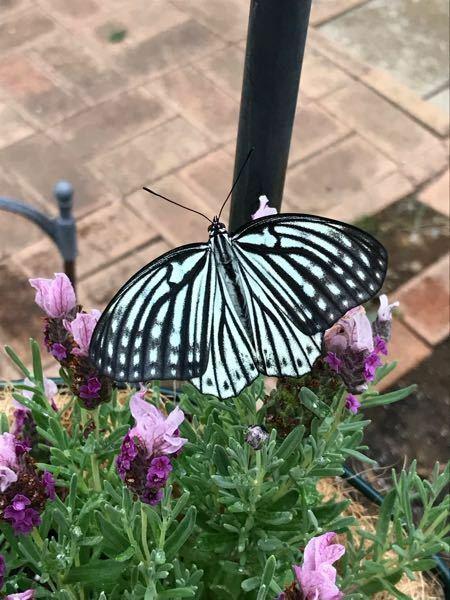 庭で羽化したての蝶を見つけました。 羽を広げたら8センチくらいです。 アゲハに似てますが 羽が違います。 なんという蝶か教えてください。