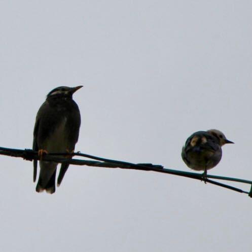ムクドリの横にいるこの鳥はコムクドリでしょうか?
