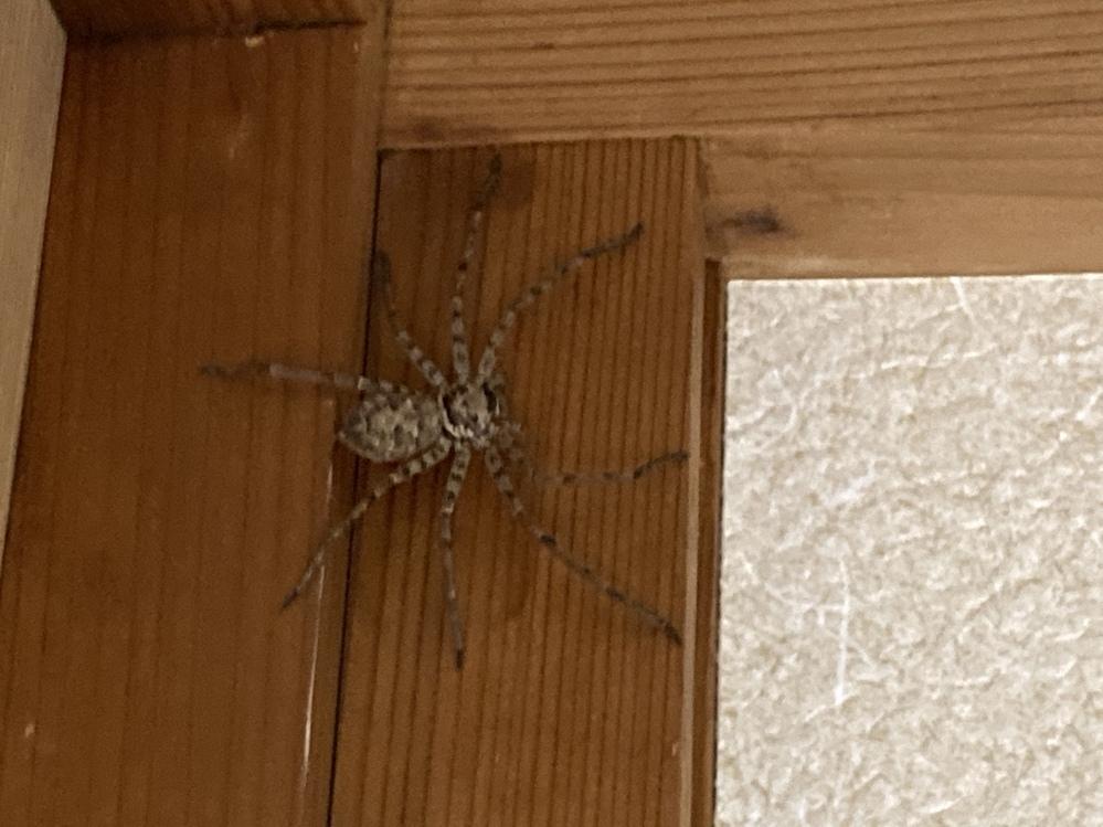 家に蜘蛛が出ました。 掌サイズで割と大きめなのですが、アシダカにしては足が細いような模様がシマシマというか、もともと蜘蛛が苦手でなんだか怖いです。何蜘蛛ですか?