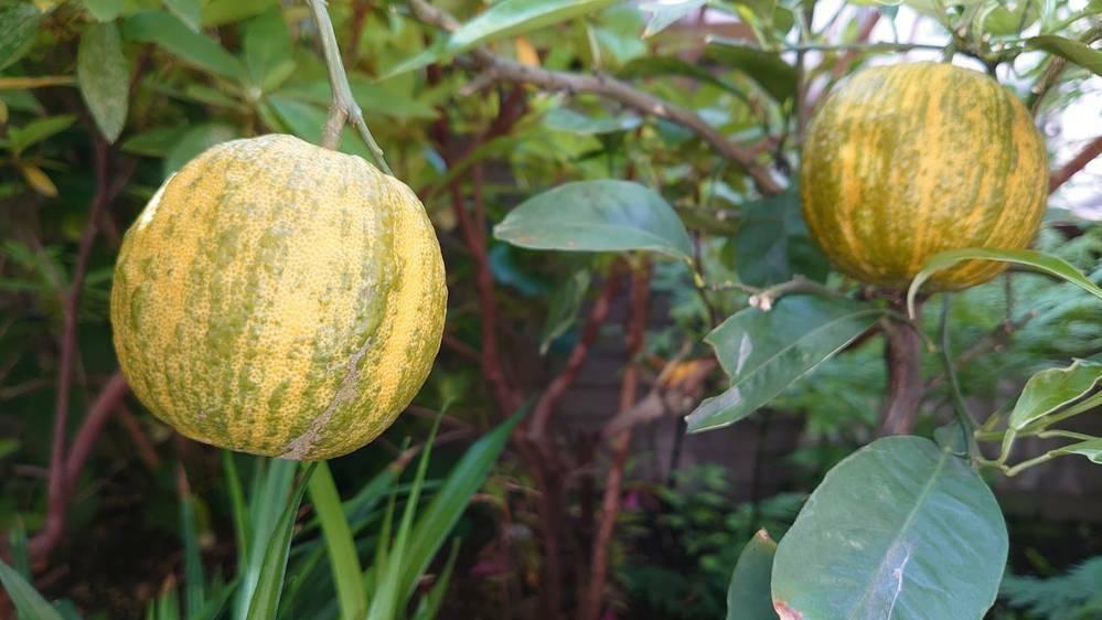 柑橘類の鉢植えを見かけました。 樹高 60cmくらい 実は直径 6cmくらい 実を押すと硬い。 名前を教えてください。