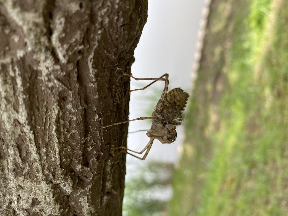 日中散歩に出かけると初めて見る謎の虫がいたのですが、これは何という虫ですか? かなり大きくて近付いても動かなかったです。