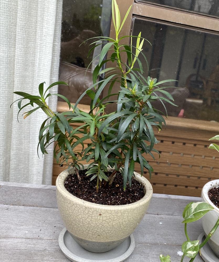 この観葉植物は、なんという植物でしょうか? 高さは鉢を含めず20 ㎝くらいです。 管理できなくなった方から譲られ、名前も分からないのです。