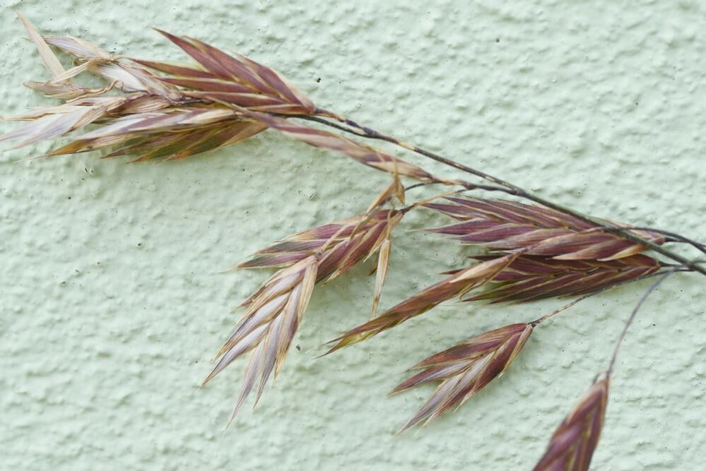 イネ科のこの植物の名前を教えてください。よろしくお願いいたします。