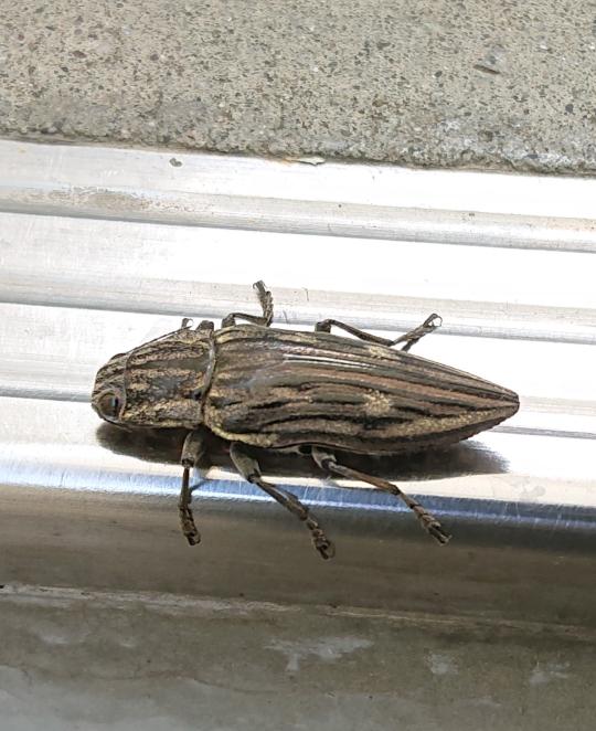 これって何の虫ですか? シロスジコガネ?