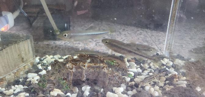この魚、アブラハヤ?カワムツ? ハヤかと思い込み、一年飼育してきましたが、ヒレの白いような赤いようなとこが全てにあり、改めて検索したらカワムツの特徴に近くて。