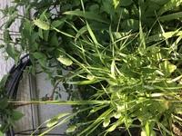 背の高い雑草  庭に置いてあるプランターから初めて見る雑草が生えてきました。 イネ科のようなのですが、背の高さは根を含まず60cmくらいあります。 見てみると穂の一粒一粒に緑色の筋が入り可愛く、ドライフラワーにしたら味がありそうな植物です。  このプランターは2年以上経っており、この雑草が近所で生えているのも見たことがないので、 鳥が運んできたくらいしか思いつかないのですが、 ...