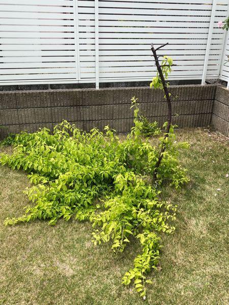 しだれ梅の剪定について教えて下さい。 数年前、自己流で剪定して以降、枝垂れ なくなってしまい、下の方から枝が出て 地を這うようになりました。 一番上の切り口には木工ボンドで塞いで おります。 思い切って、下から出ている枝を切って、 上の切り口のボンドを取ってやると、 また枝垂れるようになるのでしょうか? あと、剪定するとしたらいつ頃が良いの でしょうか?