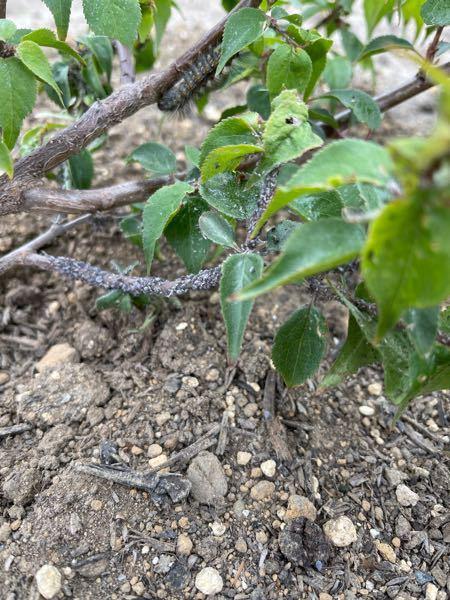庭の梅の木にアブラムシが大量に発生しました! 水で流したりつぶしたりしましたが、次から次へと来るため薬剤で対抗しようと思ってます! 梅の木は、さし技で3年ぐらい鉢で育てたのを今年庭に植えました!種類は豊後と小梅です! 家庭菜園で育ててるものです。 初心者でも扱いやすい、アブラムシ対策用品(薬品)を教えてください^_^ お願い致します!