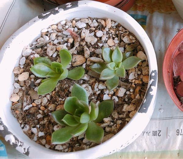こちらの多肉植物の名前を教えてください。