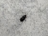 これはゴキブリの赤ちゃんですか?  庭の花壇にいました...5mmくらいです。。