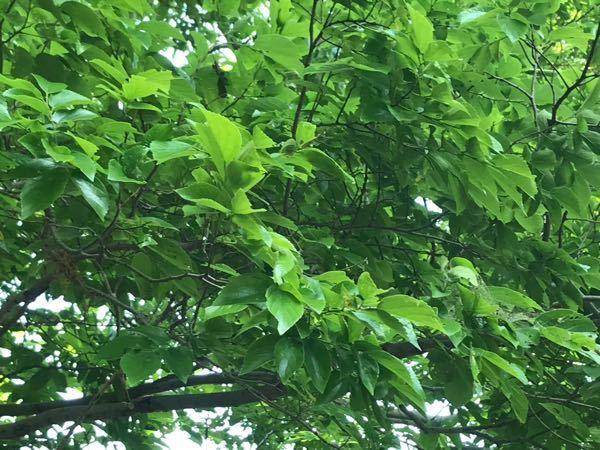 木についての確認質問です。 近くにヒオドシチョウの幼虫と蛹がいたのでこれはエノキで合ってますよね?