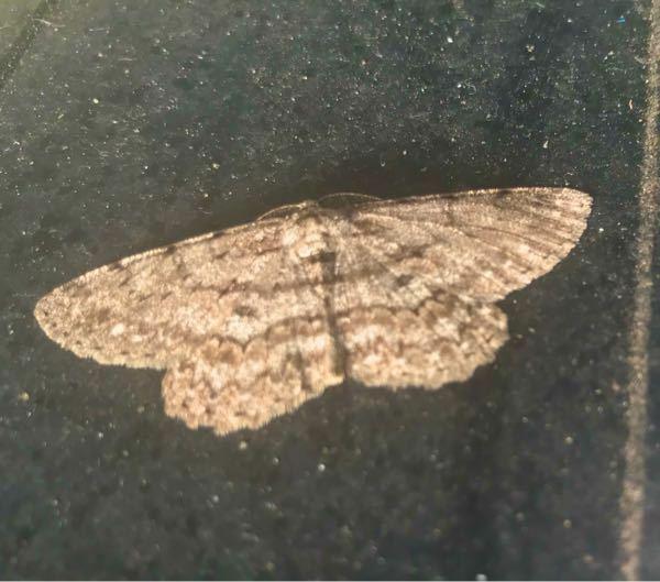 蛾の種類 写真の蛾について 種類が分かる方、ご教示ください。 本日佐賀県で撮影したものです。