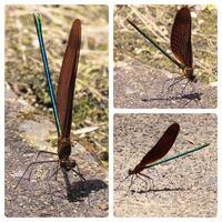 トンボの種類 写真のトンボについて 種類が分かる方、ご教示ください。  本日佐賀県で撮影したものです。 写真はすべて同一個体です。