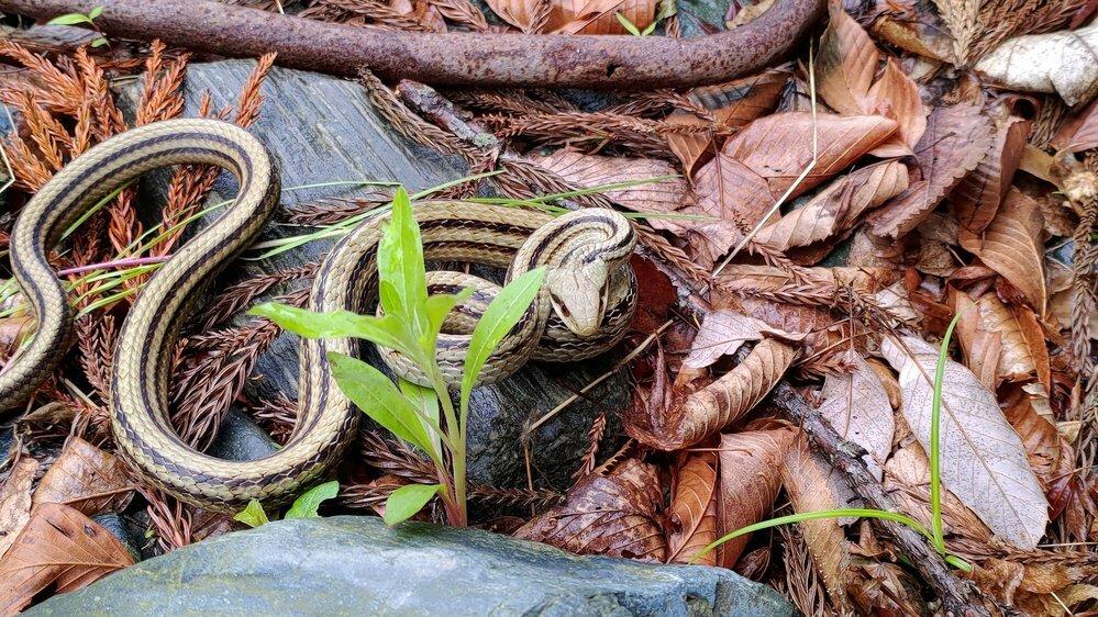 シマヘビですか?