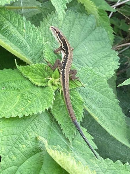 ニホンカナヘビ?? 尻尾は黒い 今日ニホンカナヘビ??を見かけたのですが、尻尾の先が黒かったです なぜでしょう? 尻尾切りのあとにはえたら黒くなったりするのでしょうか?