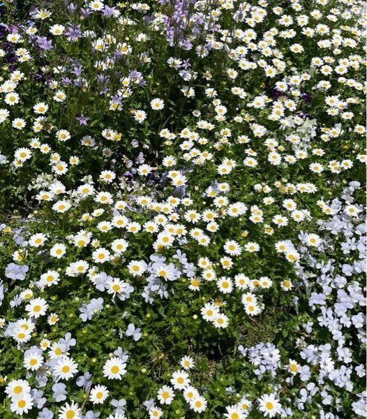 このお花の名前を教えてください…! それから、このお花とよく似てて間違えやすいお花ってあったりしますか??