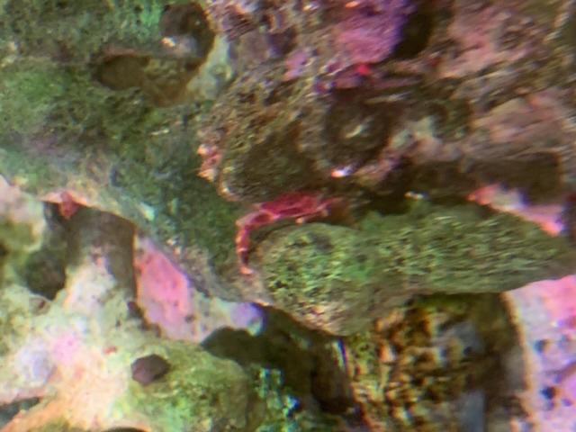 ライブロックから種類のわからないカニが出てきたのですがなんていうカニだからわかりますでしょうか?体長は1〜1.5cmほどです。 様子見てるとライブロックの苔を食べているようですが将来、魚やエビに危害が及ぶ可能性ありますか?
