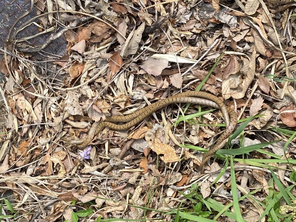 蛇ヘビの写真があるので閲覧注意です。 今日、散歩中にカップルの蛇を見つけました。 種類はなんですか?マムシ注意の看板がありましたがマムシですか?