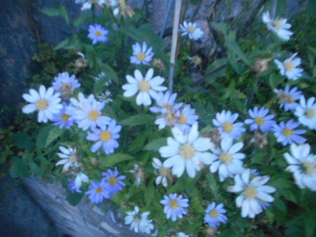 今朝日の出前の時間に自宅近くで見かけました。 これと似たような花が多いので、結局名前がわかりません。 お分かりの方、教えて下さい。