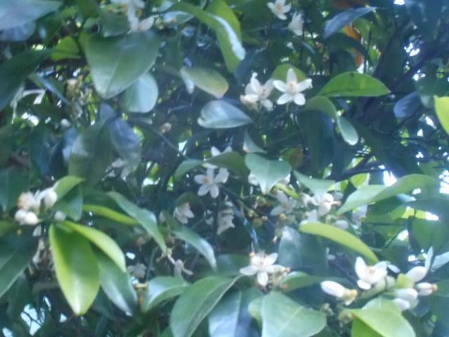 日の出時刻少し前に見かけました。 白い花ですが、少し高いところに咲いていたために若干ぼけ気味になってしまいまして申し訳ありません。 名前をお分かりの方、教えて下さい。