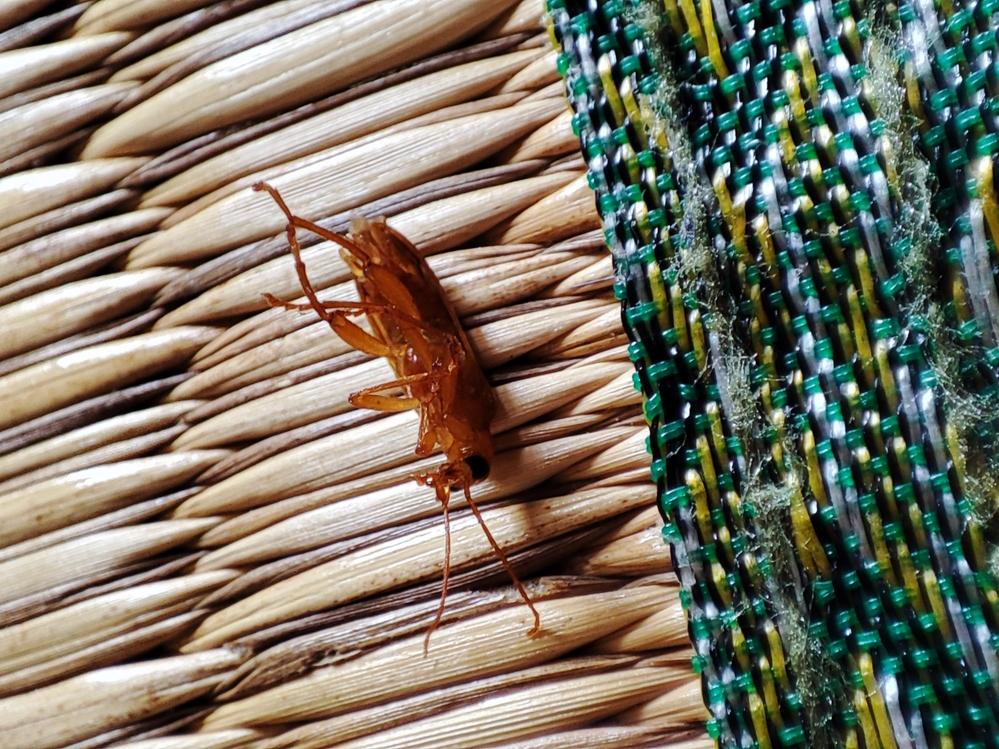 この虫は何でしょうか? 家の中でこの虫が毎日のように出てきます。 何の虫なのかが気になります。