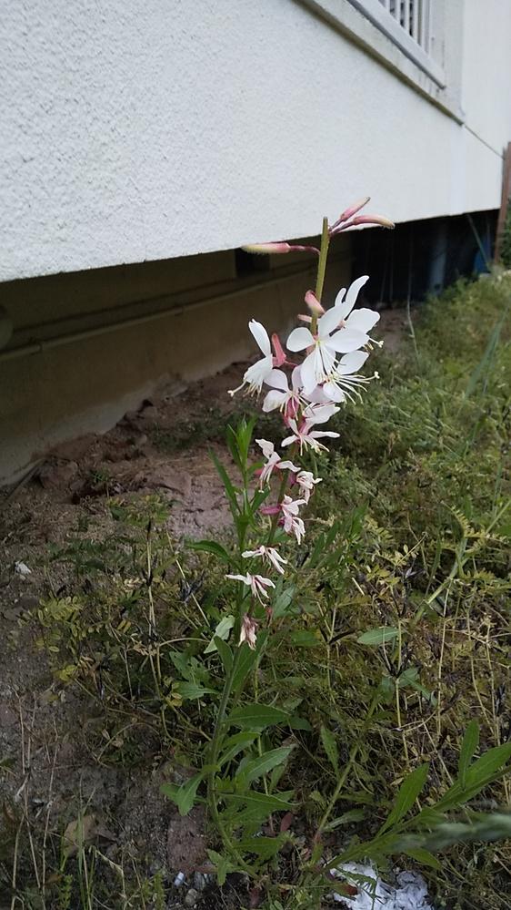 雑草と思うのですが、綺麗な花です。花の名前が知りたいのですが、よろしくお願いします。