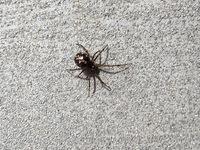 この蜘蛛は毒蜘蛛ですか? 名前も知りたいです。 家の玄関のドアにいたのでビニール袋で捕まえて、外に逃しました。 よろしくお願いします^^;