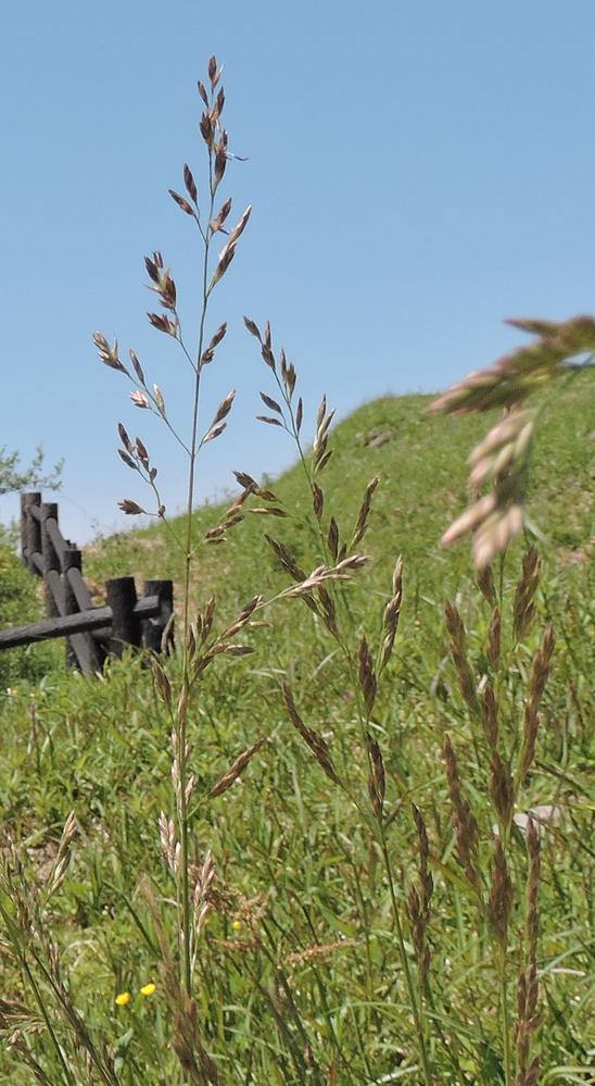 今日、北九州市の郊外で見た野草2つの名前を教えて下さい。 二つ目です。これはイヌムギでしょうか?自信がないので投稿しました
